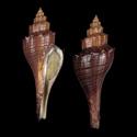 Hemifusus cariniferus