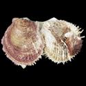 Spondylus CLUSTER