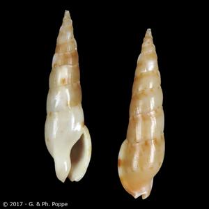 Colubraria nitidula