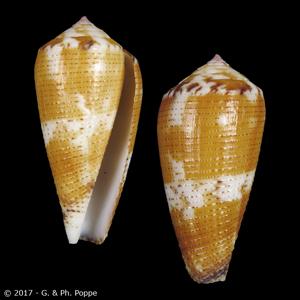 Pionoconus metcalfii GRANULATE