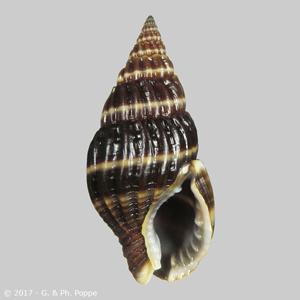 Nassarius olivaceus f. approximata