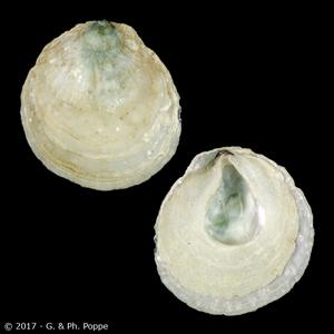 Pododesmus macrochisma