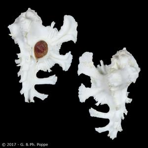 Homalocantha anatomica