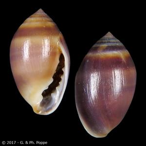 Melampus sincaporensis