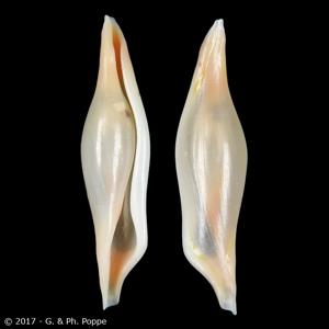 Phenacovolva tayloriana