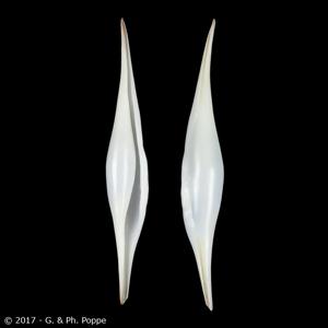 Phenacovolva longirostrata