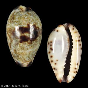 Purpuradusta gracilis gracilis f. japonica