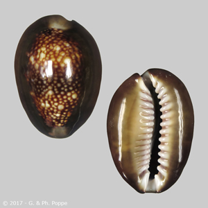 Monetaria caputserpentis f. mikado