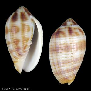 Pterygia dactylus