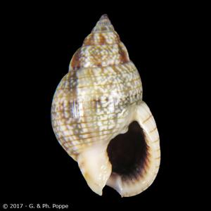 Nassarius limnaeiformis