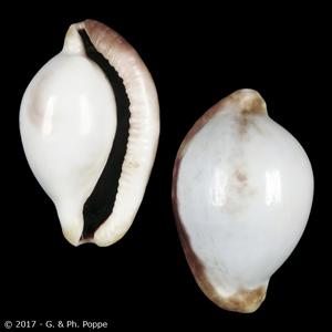 Ovula ovum PURPLE