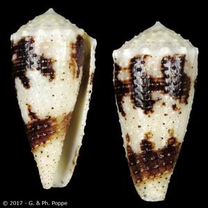 Rolaniconus varius f. annularis