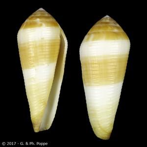 Virgiconus terebra terebra