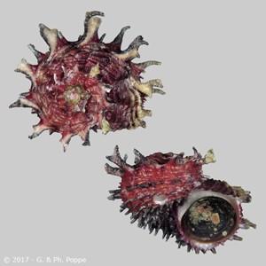 Angaria aculeata