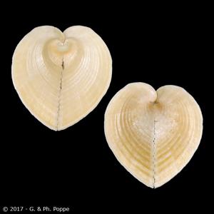 Corculum cardissa f. aselae ORANGE & BROWN
