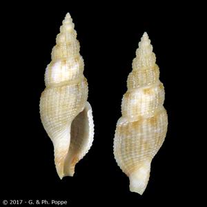 Paraclathurella subuloides
