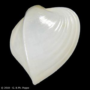Meiocardia hawaiana ALBINISTIC