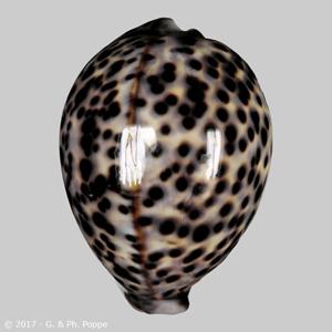 Cypraea tigris PHILIPPINES 91-100