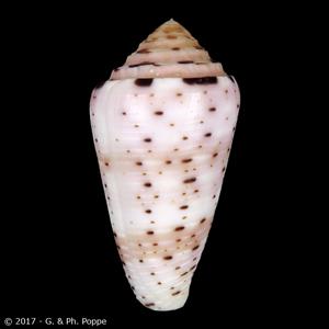 Pionoconus aurisiacus
