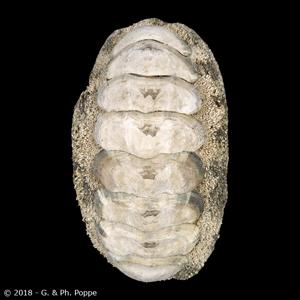 Acanthopleura gemmata LARGE
