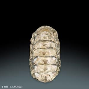 Acanthopleura gemmata GIANT