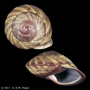Anixa zebuensis PERIO