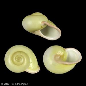 Calocochlia chrysocheila