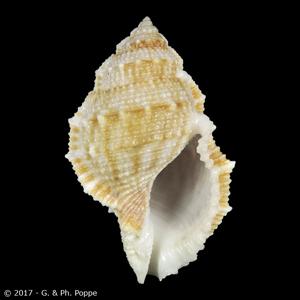 Bufonaria subgranosa