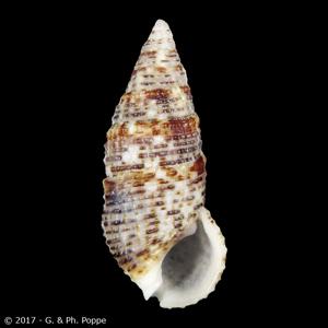 Clypeomorus chemnitzianus