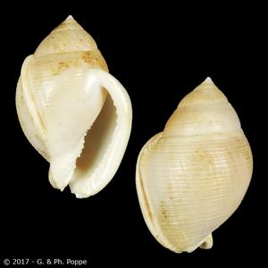 Semicassis craticulata