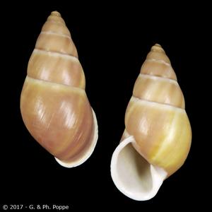 Amphidromus basilanensis BROWN