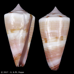 Kioconus voluminalis filicinctus SECOND