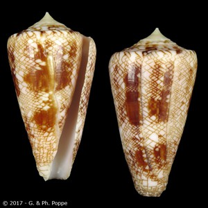 Leptoconus glorioceanus SECOND