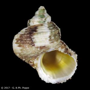 Turbo chrysostomus