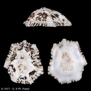 Patelloida saccharina