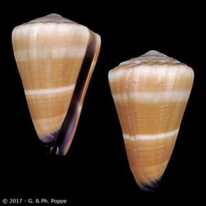 Virgiconus flavidus