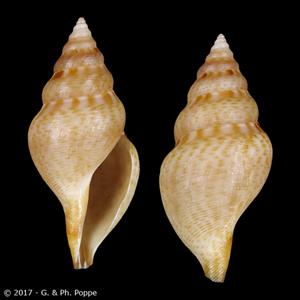 Daphnella pulviscula