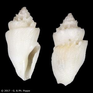 Conopleura striata