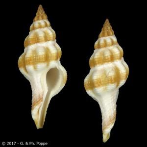 Fusolatirus pearsoni BANDED
