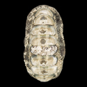 To Conchology (Acanthopleura gemmata LARGE)