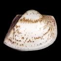 Cucullaea labiata labiata