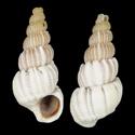 Amaea guineense