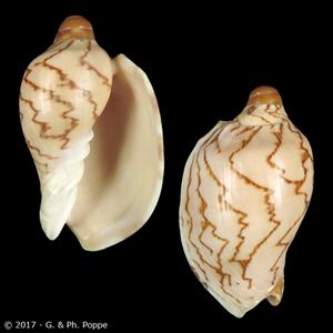 Cymbiola nobilis nobilis f. parva