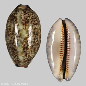 Mauritia eglantina