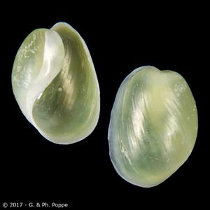 Haminoea orbignyana