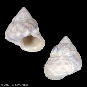 Tectarius rusticus