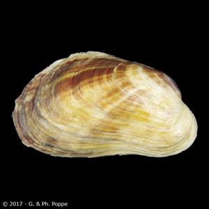 Neotrapezium sublaevigatum