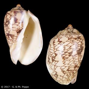 Cymbiola nobilis tamariskae