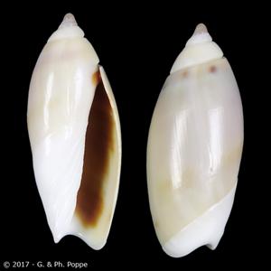 Agaronia griseoalba
