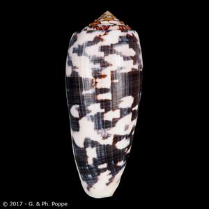 Pionoconus striatus
